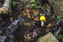 Amanita Muscaria Mushroom Yellow Colored Formosa Variety