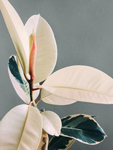 Flower With Large Leaves Close Up Photo Ficus With Lush Foliage And Two-tone Leaves Against Gray Background