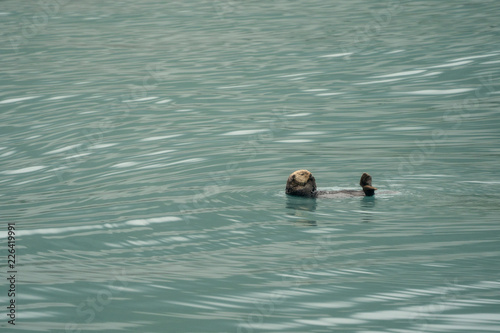 Fotografia  Cute sea otter floating on his back in teal water in Resurrection Bay in Kenai F