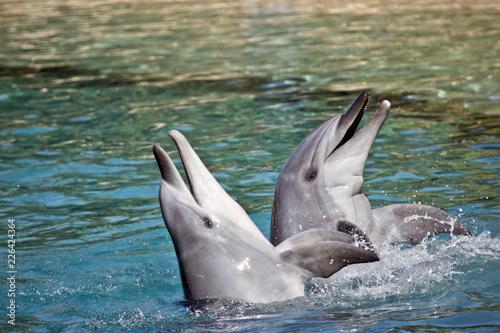 bottlenose dolphin Fototapeta