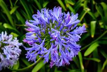 Agapanthus Praecox (Lily Of The Nile) Azure Blossom