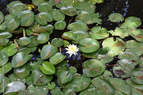 Deurstickers Waterlelies lotus lily water flower