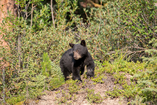 Photo  Black bears