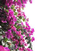 Pink Bougainvillea Flower Isol...