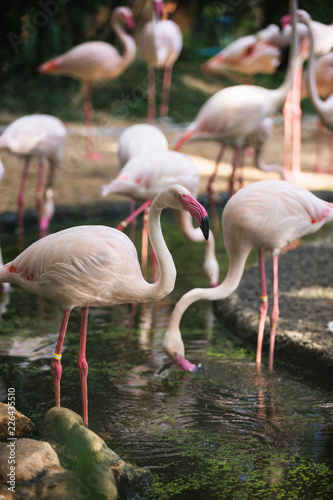 Photo  Flamingo bird day life with pond and trees in Dusit zoo, Bangkok.