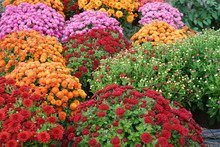 Colorful Chrysanthemum Flowers Outdoor In Autumn Season