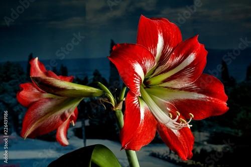 Photo large beautiful bright red flower Hippeastrum, macro