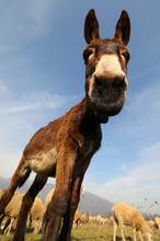 Funny Donkey With Long Ears While Grazing