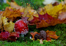 Small Red Toadstool With Pine Cones And Maple Leaves