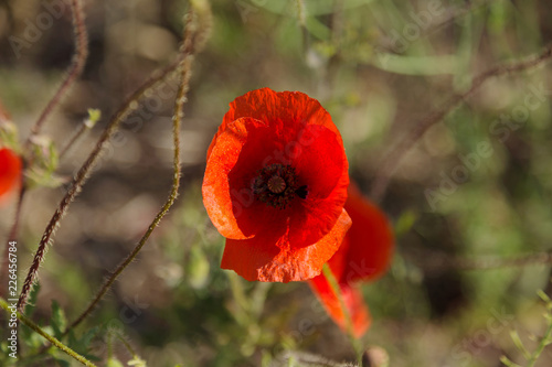 Poster Klaprozen Flowers Red poppies blossom on wild field. Beautiful field red poppies with selective focus. Red poppies in soft light. Opium poppy. Natural drugs. Glade of red poppies. Lonely poppy. Soft focus blur