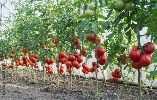 Ripe tomatoes in garden