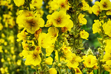 Mullein Plant With Yellow Flowers