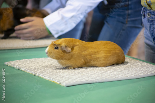 Photo  Single guinea pig lined up for judging at state fair competition