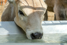 Head Of Calf Who Drinks Water ...