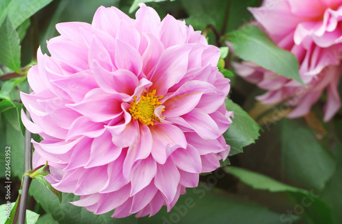 Beautiful pink dahlia flower blooming in the garden.