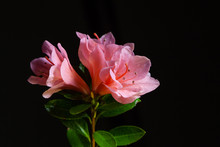Closeup Of Pink Azalea Flowers...