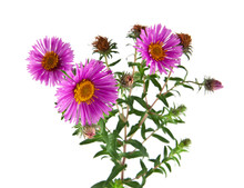 Alpine Aster Isolated On White Background. As An Element Of Packaging Design.