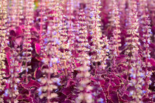 Urban Flower Bed With Dense Thickets Of Blooming Red Coleus, Natural Purple Background