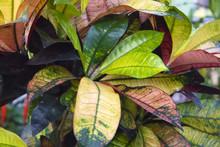 Showy Dense Multicolored Foliage Of Tropical House Plant Ficus Codiaeum Variegatum , Natural Background
