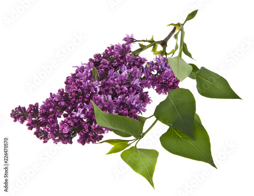 Fotobehang Lilac Lilac flowers isolated on white background. As an element of packaging design.