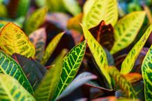 Codiaeum Variegatum (Croton, Variegated Laurel, Garden Croton, Orange Jessamine) Ornamental Plants. Close Up, Natural Sunlight.
