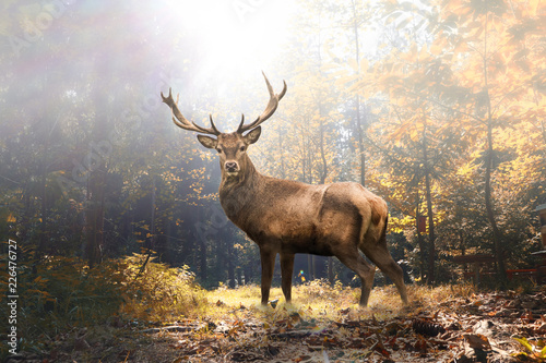Photo sur Aluminium Roe Stolzer Hirsch im herbstlichen Wald