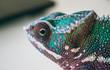chameleon on white background