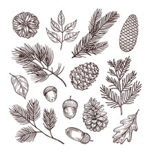 Sketch Fir Branches. Acorns An...