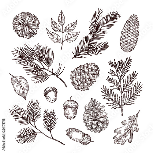Fototapeta Sketch fir branches. Acorns and pine cones. Christmas, winter and autumn forest elements. Hand drawn vintage vector isolated set. Illustration of nature decoration drawing fir obraz