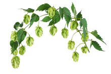 Branch Of Hop With Leaves Isolated On White Background.