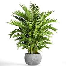 Howea Palm In A Pot On A White...