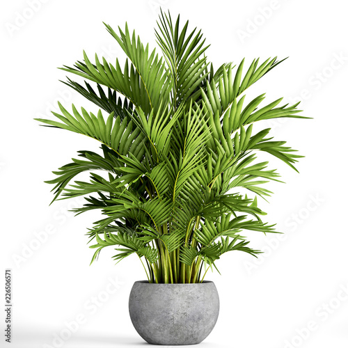 Howea palm in a pot on a white background Fototapet