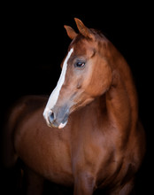 Chestnut Horse Portrait On Black Background