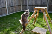 Beautiful Long Haired, Female, Tortoiseshell, Blue Smoke, Pedigree, Maine Coon Cat, Sitting On Cat Tree In Garden.
