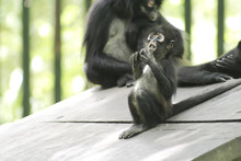 A Mexican Spider Monkey Baby (Ateles Geoffroyi Vellerosus) With A Surprised Face Lives Together With His Mother Inside A Zoo. It Is A Type Of New World Monkey, From Mexico And Central America.
