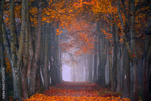 Foto auf AluDibond Cappuccino Autumn fall. Foggy morning in the maple forest. Vibrant colors