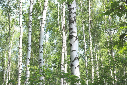 Poster Olive Beautiful birch trees with white birch bark in birch grove with green birch leaves