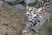 Ocelot, Small Cat With Mouth Open Roaring