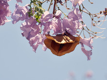 Jacaranda Blossom With Pod