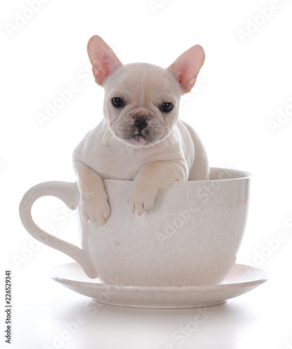 Keuken foto achterwand Franse bulldog female french bulldog puppy
