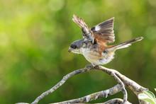 Female Of Burmese Shrike (Lani...