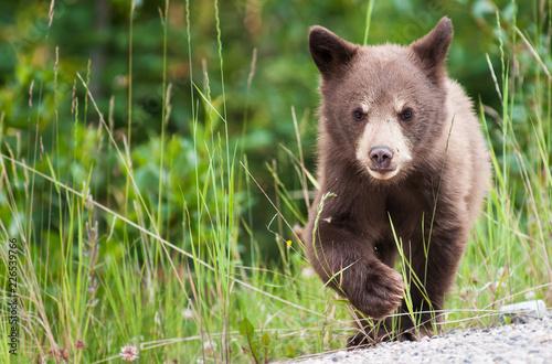 Black  bear cub Tableau sur Toile