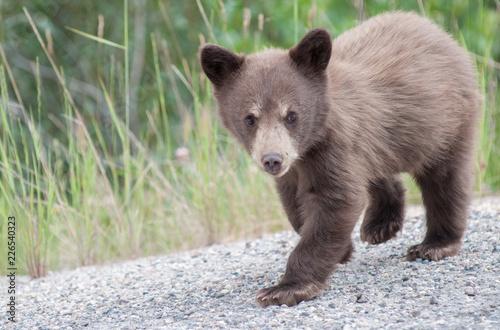 Fotografie, Obraz  Black  bear cub