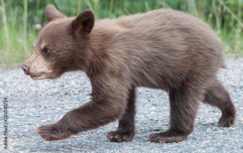 Obraz na plátně Black  bear cub