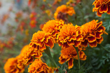 Closeup Of Orange Marigolds In Public Garden