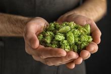 Man Holding Fresh Green Hops, ...