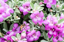 Bee Collecting Nectar From Texas Sage Flowers