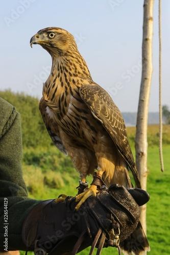 juvenile hawk (Accipiter gentilis), goshawk, falcon breeding, falconry, birds of prey, hawking