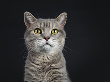Head Shot Of Wise Looking Senior British Shorthair Cat, Sitting And Looking Beside Lens Isolated On Black Background