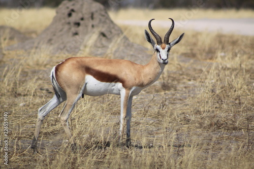 Impala dans la savane africaine